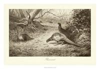 A. Thorburn - Pheasant