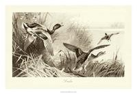 A. Thorburn - Ducks