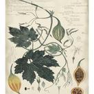 A Descubes - Botanical by Descube I
