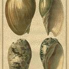 Diderot - Crackled Classic Shells I
