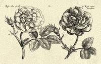 De Passe - O/S Depasse Elephant Roses I K