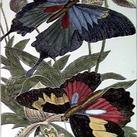 Pearson - Oversized Butterfly II