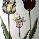 Crispen De Passe - Elephant Tulips II (Oversize)