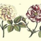 Crispen De Passe - Elephant Roses I (Oversize)
