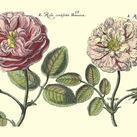 Crispen De Passe - Elephant Roses II Oversize