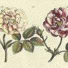 DePasse - DePasse Elephant Roses I