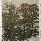 Chariklia Zarris - Mauve Blooms II