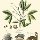 A Bell - Naturalist Study I