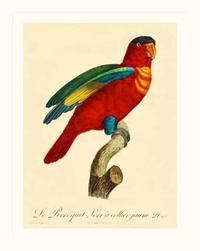 Barraband - Barraband Parrot, PL 95