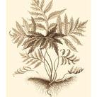 Abraham Munting - Sepia Munting Foliage IV