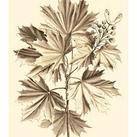 Abraham Munting - Sepia Munting Foliage V